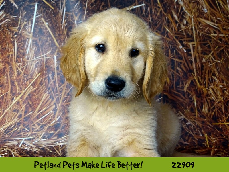 Golden Retriever-Male-Golden-2598304-Petland Naperville