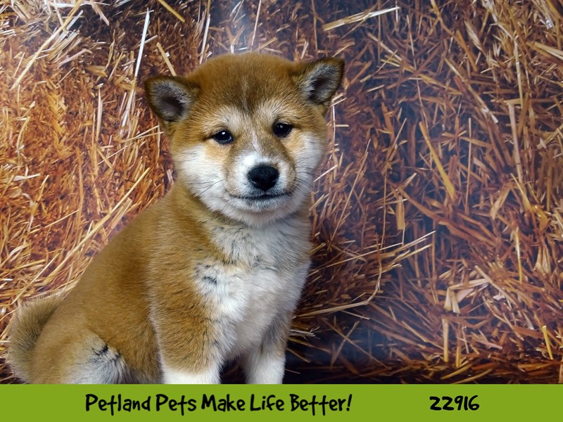 Shiba Inu-DOG-Female-Red Sesame-2598740-Petland Naperville