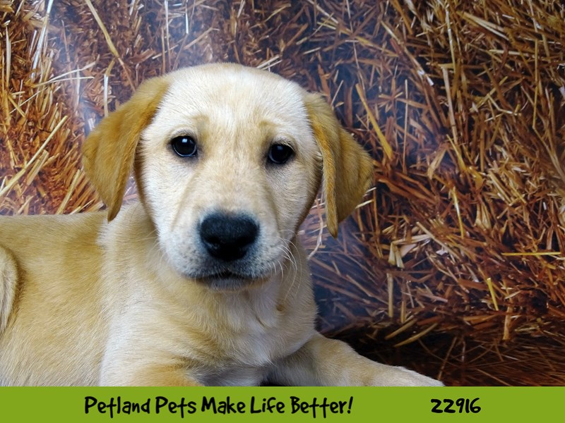 Labrador Retriever-DOG-Female-Yellow-2598742-Petland Naperville