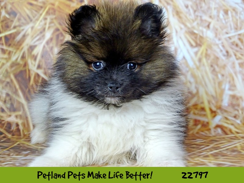 Pomeranian-Male-Red-2565437-Petland Naperville