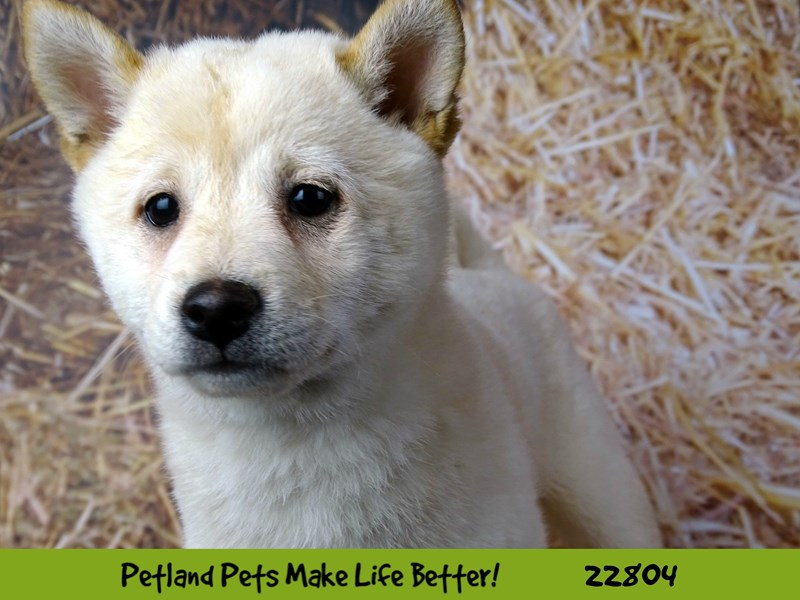 Shiba Inu-DOG-Female-Cream-2570059-Petland Naperville