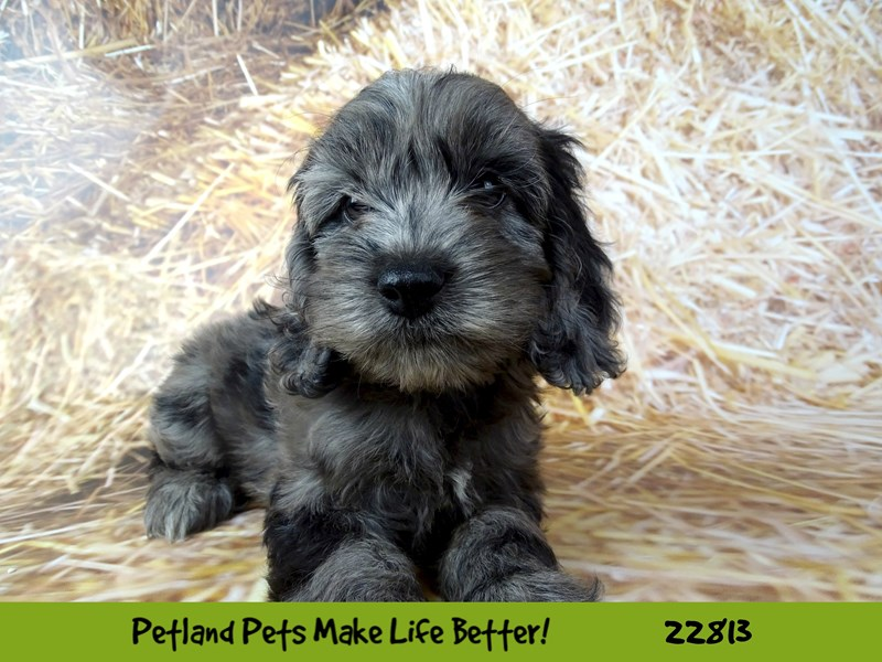 Cockapoo-DOG-Female-Blue Merle-2570145-Petland Naperville