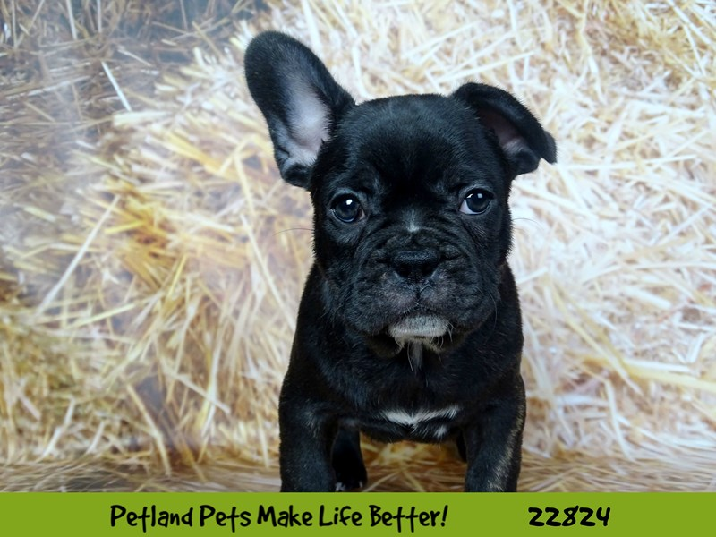 French Bulldog-DOG-Male-Chocolate-2575439-Petland Naperville