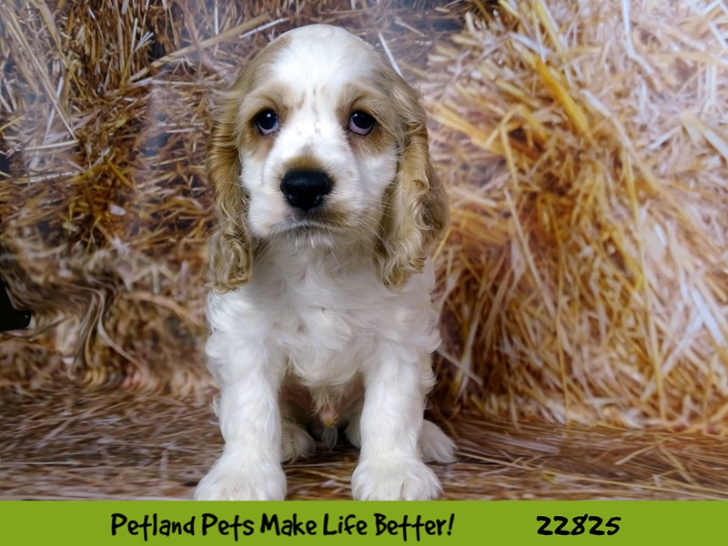Cocker Spaniel-DOG-Male-White and Tan-2575468-Petland Naperville