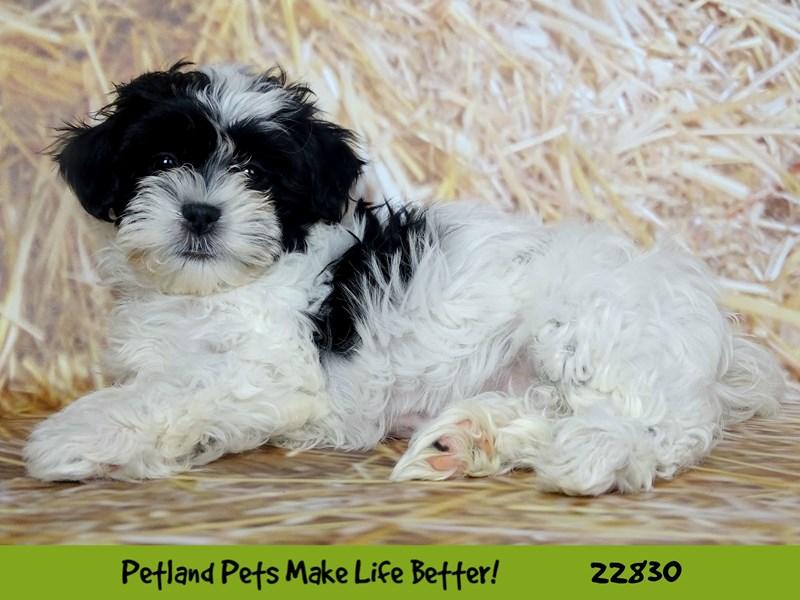 Teddy Bear-DOG-Female-Black / White-2575517-Petland Naperville