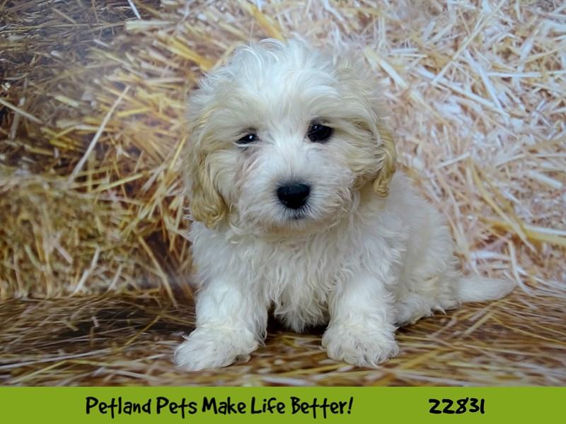 Teddy Bear-Male-White / Cream-2575539-Petland Naperville