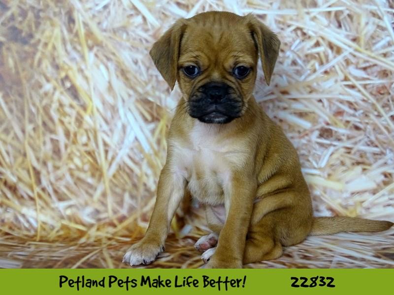 Puggle-DOG-Female-Apricot-2575511-Petland Naperville