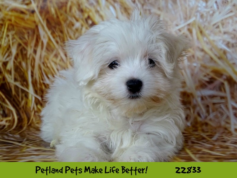 Maltese-Male-White-2575510-Petland Naperville