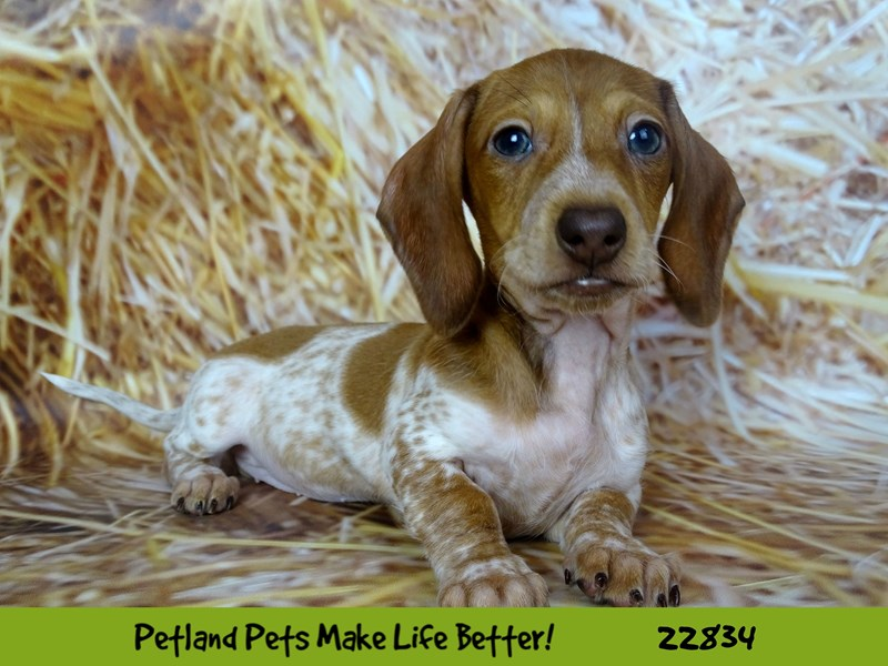 Dachshund-Female-Red / White-2575514-Petland Naperville