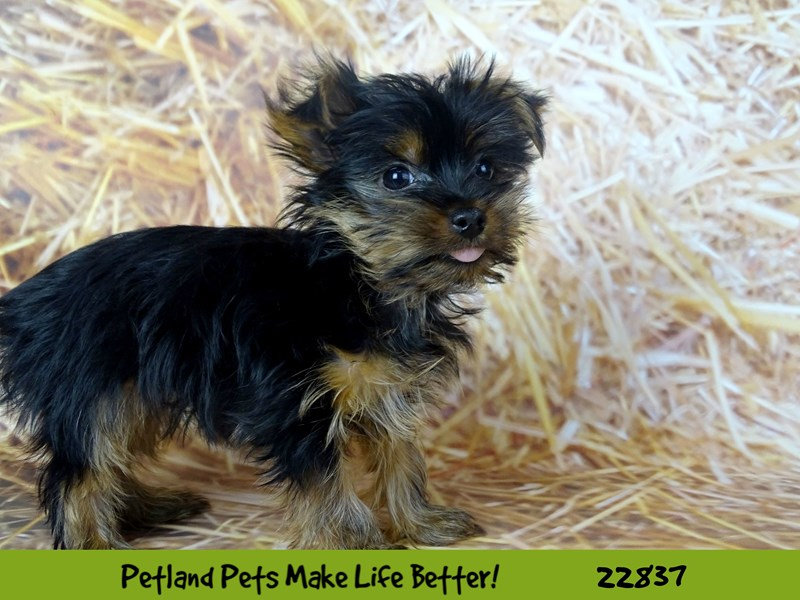 Yorkshire Terrier-Female-Black / Tan-2575512-Petland Naperville