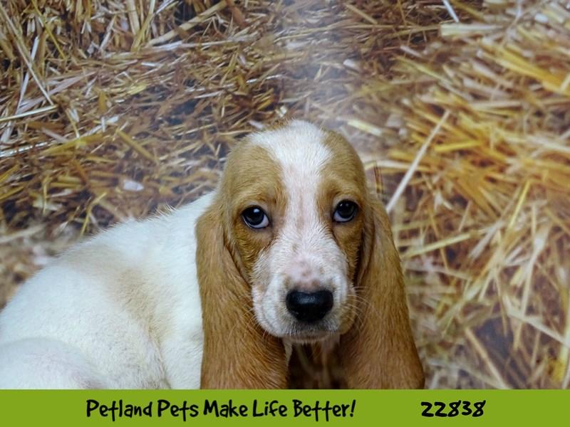 Basset Hound-DOG-Female-Lemon / White-2575515-Petland Naperville