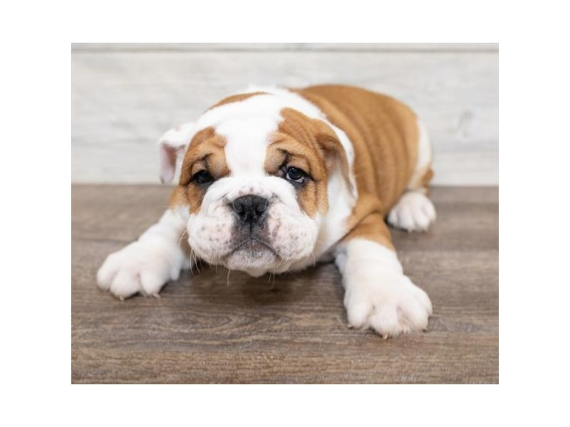 English Bulldog-Male-Red-2576510-Petland Naperville