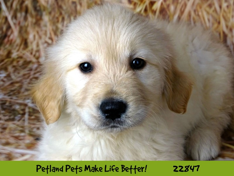 Golden Retriever-Female-Golden-2576514-Petland Naperville