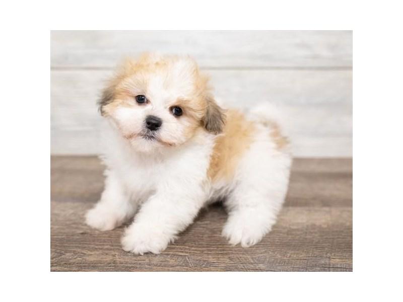 ShizaPoo-DOG-Male-Gold / White-2584456-Petland Naperville