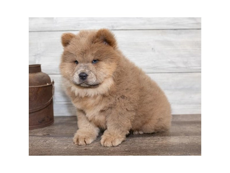 Chow Chow-DOG-Male-Champagne-2584463-Petland Naperville