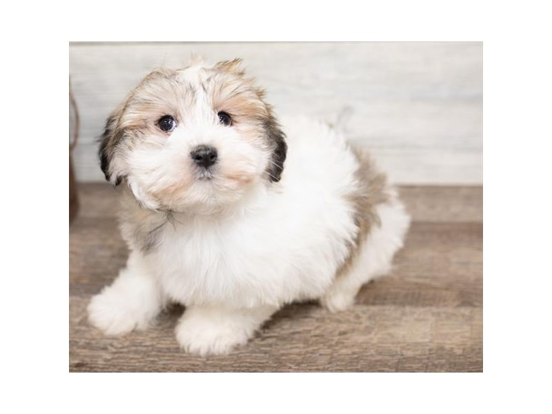 Havanese-DOG-Female-Gold / White-2584467-Petland Naperville