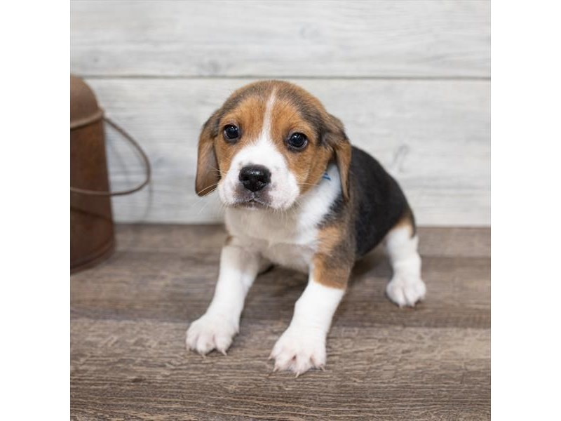 Beagle-Male-Black White / Tan-2584472-Petland Naperville