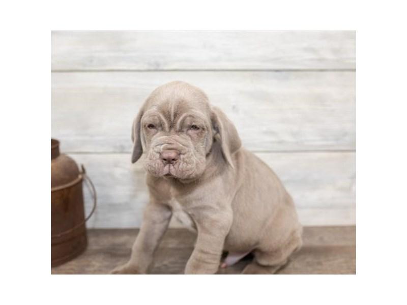 Neapolitan Mastiff-Male-Tawny-2584624-Petland Naperville