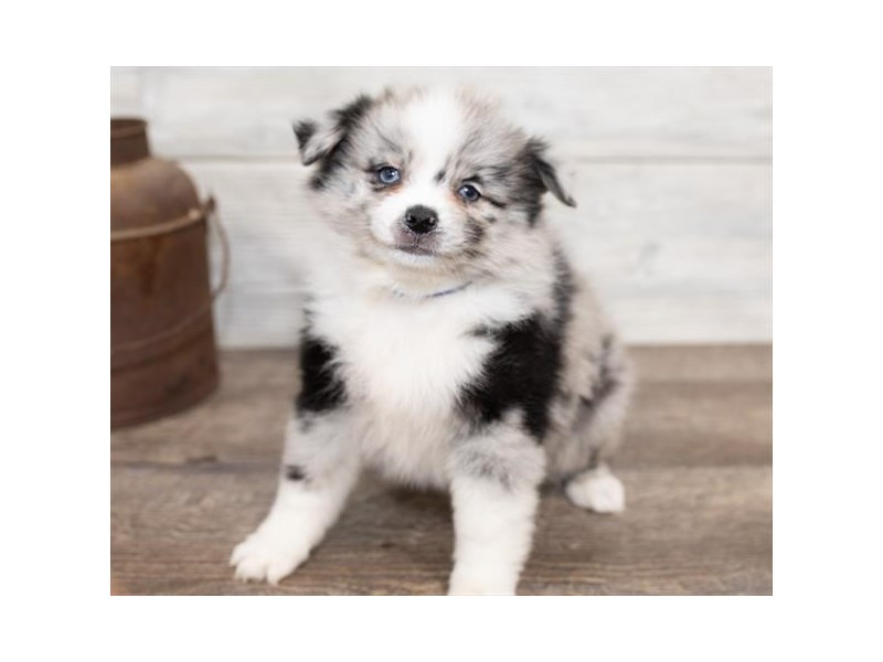 Pomeranian/Australian Shepherd-DOG-Female-Blue Merle-2584628-Petland Naperville