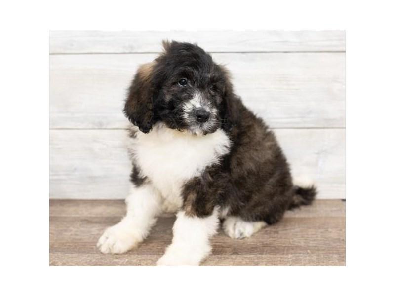 Saint Bernard/Poodle-DOG-Male-Black White / Brown-2584634-Petland Naperville