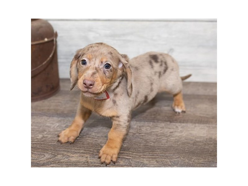 Dachshund-Male-Chocolate Dapple-2584654-Petland Naperville