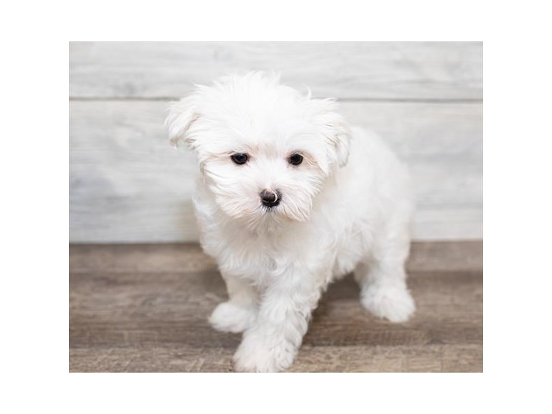 Maltese-Female-White-2584655-Petland Naperville