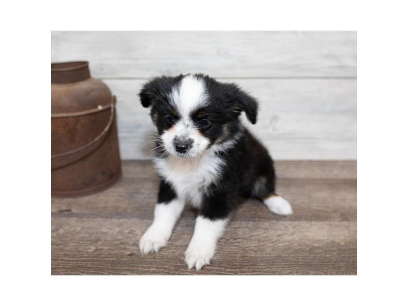 Toy Australian Shepherd-DOG-Male-Black-2584717-Petland Naperville