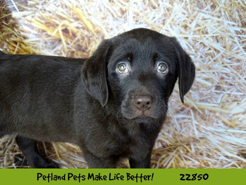 Labrador Retriever-DOG-Female-Chocolate-2584487-Petland Naperville