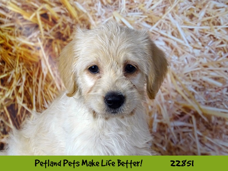 Mini Labradoodle-DOG-Female-Cream-2584515-Petland Naperville