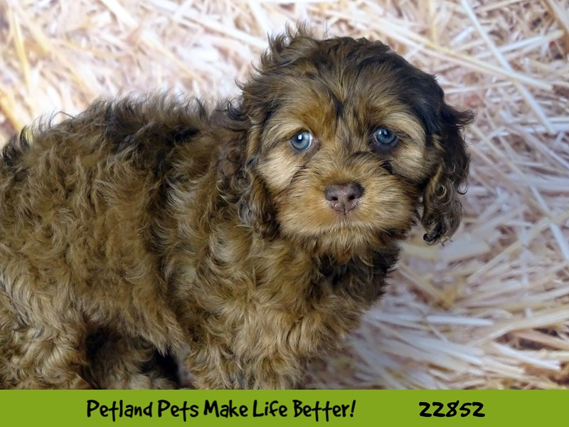 Cockapoo-Female-Red Merle-2584529-Petland Naperville