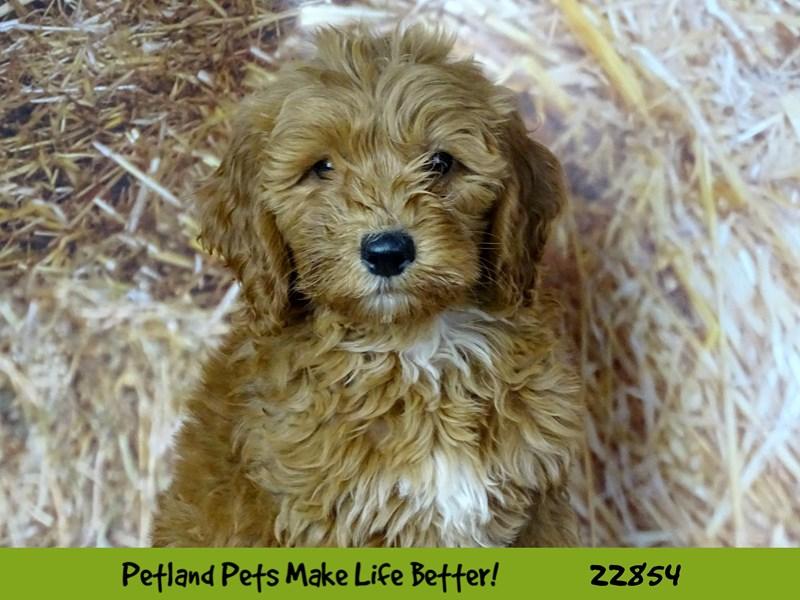 F1 B Mini Goldendoodle-DOG-Female-Red-2584602-Petland Naperville