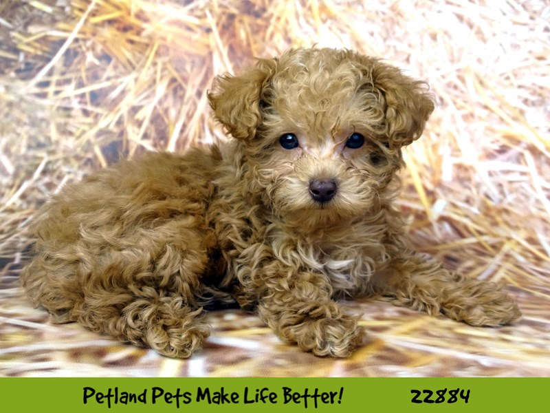Poodle-DOG-Male-Red-2589751-Petland Naperville