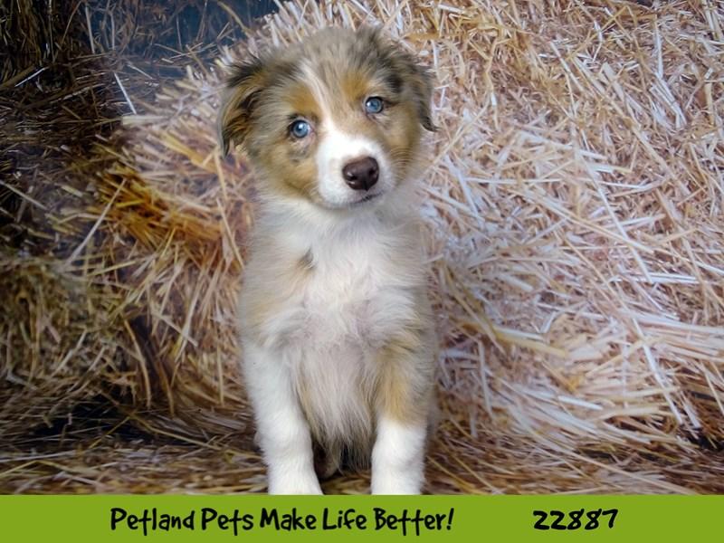Australian Shepherd-DOG-Female-Red / White-2589736-Petland Naperville