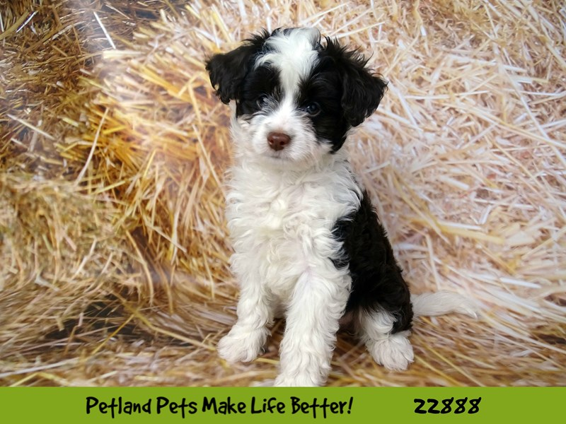 PapiPoo-DOG-Female-White / Liver-2589982-Petland Naperville