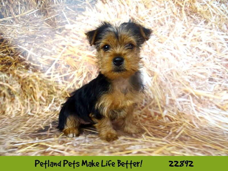 Yorkshire Terrier-Female-Black/Tan-2590106-Petland Naperville