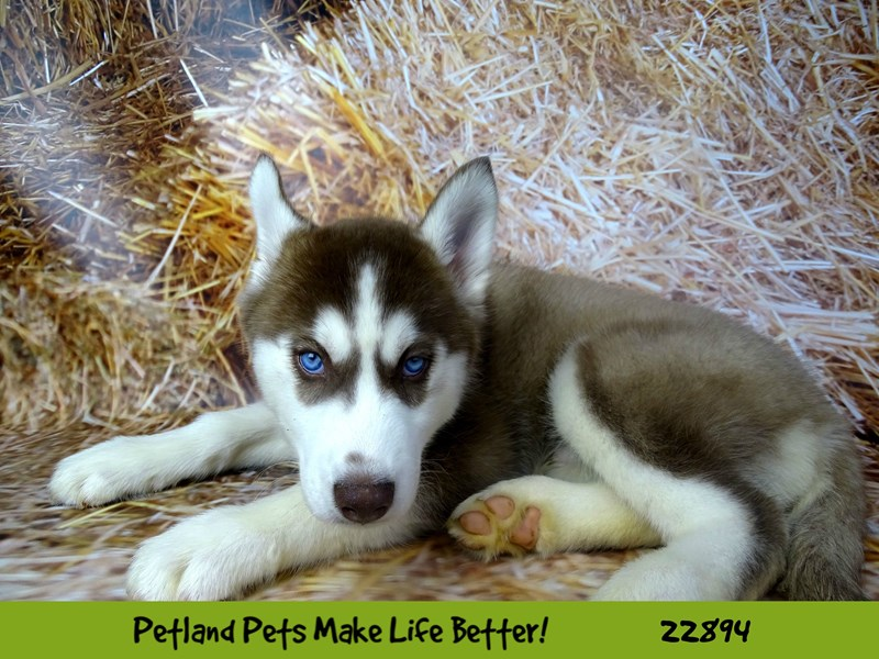 Siberian Husky-DOG-Male-Red and White-2590268-Petland Naperville