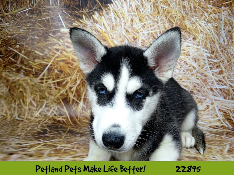 Siberian Husky-DOG-Female-Black and White-2590296-Petland Naperville