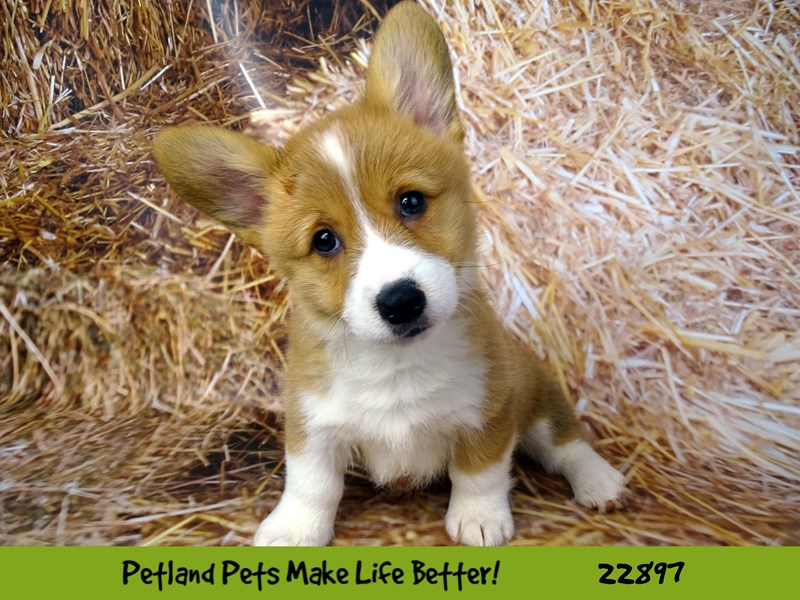 Pembroke Welsh Corgi-Female-Red and White-2590444-Petland Naperville