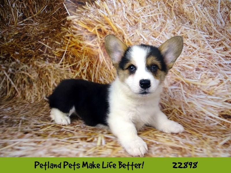 Pembroke Welsh Corgi-DOG-Male-Black Tri-2590480-Petland Naperville