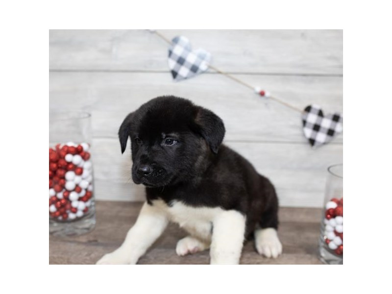 Akita-DOG-Male-Black-2591654-Petland Naperville