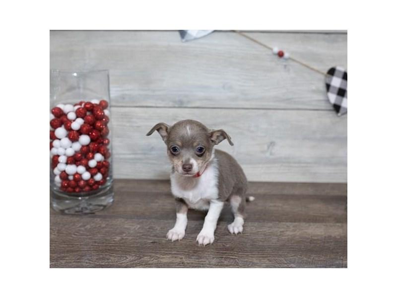 Chihuahua-DOG-Female-Blue / White-2591655-Petland Naperville