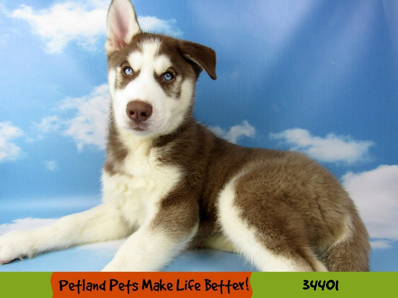 Siberian Husky-Male-Red and White-2592390-Petland Naperville