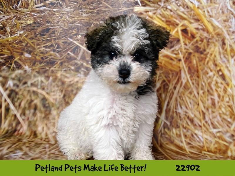 Schnoodle-DOG-Female-parti-2591657-Petland Naperville