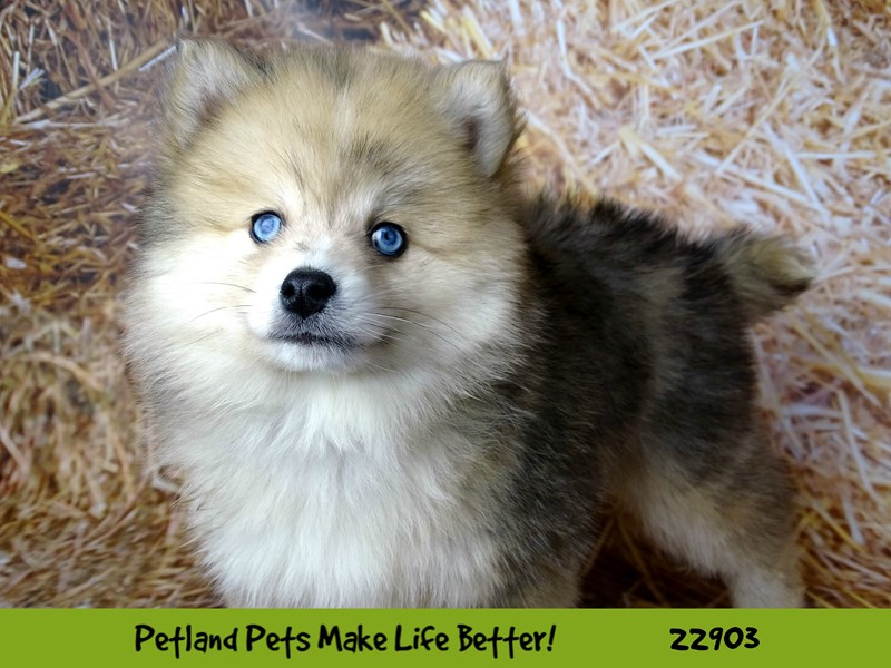 Pomsky-DOG-Male-Red Merle-2591694-Petland Naperville