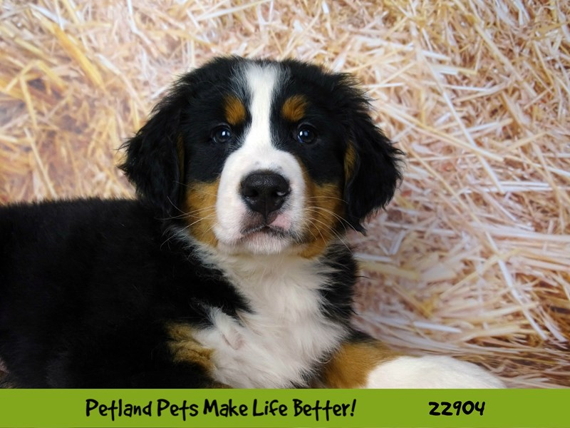 Bernese Mountain Dog-DOG-Male-Black and Tan-2597573-Petland Naperville