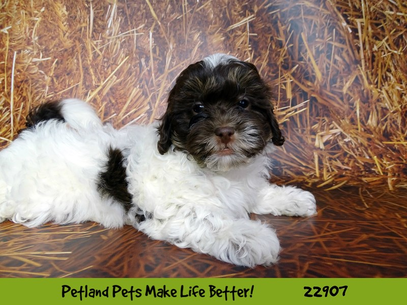 Shihpoo-Female-Liver and White-2598018-Petland Naperville