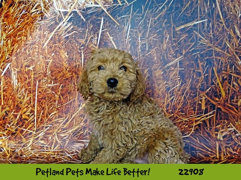 Mini Goldendoodle-DOG-Male-Cream-2598139-Petland Naperville