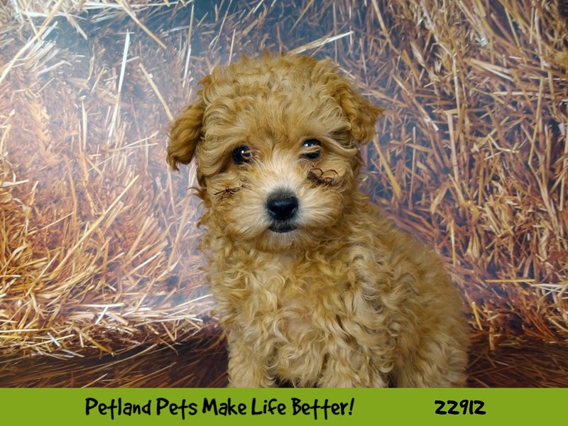 Poodle-DOG-Female-Red-2598581-Petland Naperville