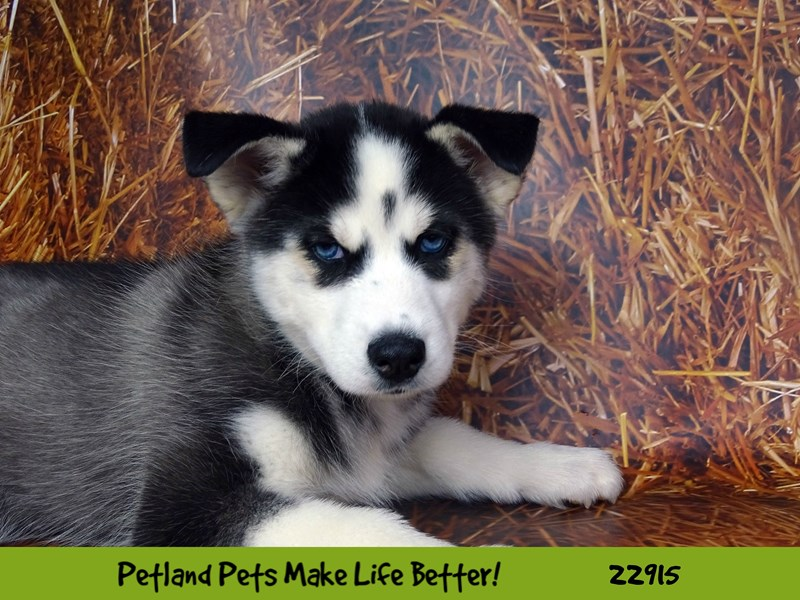 Siberian Husky-DOG-Male-Black and White-2598706-Petland Naperville