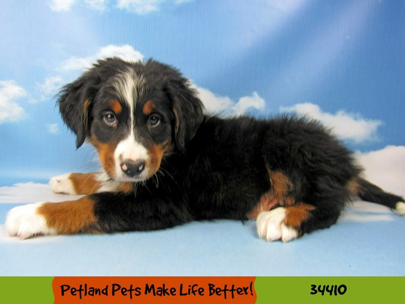 Bernese Mountain Dog-Male-Black and Tan-2599871-Petland Naperville